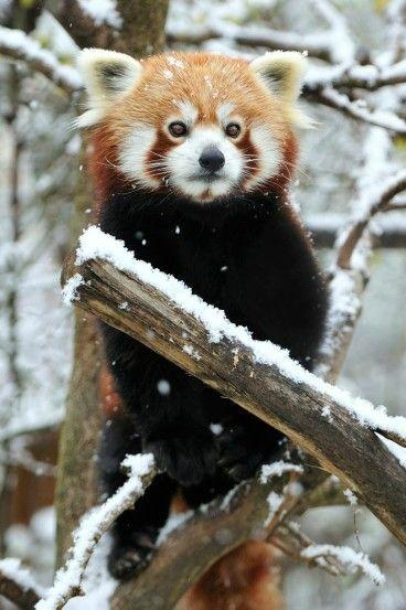 pandas-roux-chine
